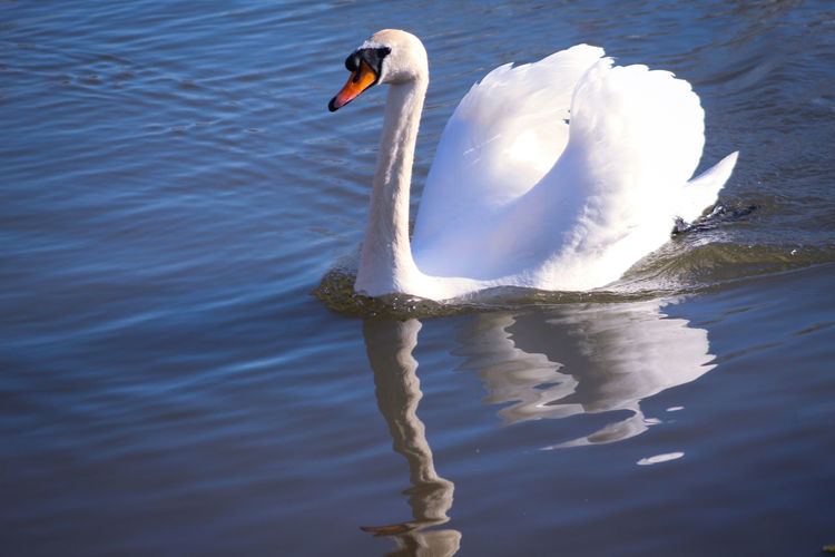 Reflections EyeEm Best Shots EyeEm Nature Lover EyeEmBestPics EyeEm Best Shots - Nature Beauty In Nature Wonders Of Nature Swan Bird Water Swimming Lake Water Bird Animal Themes Close-up Freshwater Bird Beak Mute Swan Animal Neck White Swan Avian Preening