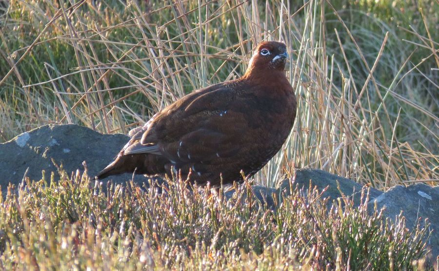 Red Grouse Grouse Moor Grouse Animal Wildlife One Animal Animals In The Wild Nature Bird Beauty In Nature No People Animal Themes EyeEmNewHere Animals In The Wild Eye4photography  EyeEm Best Edits EyeEm Best Shots Nature Eyeemphotography Close-up