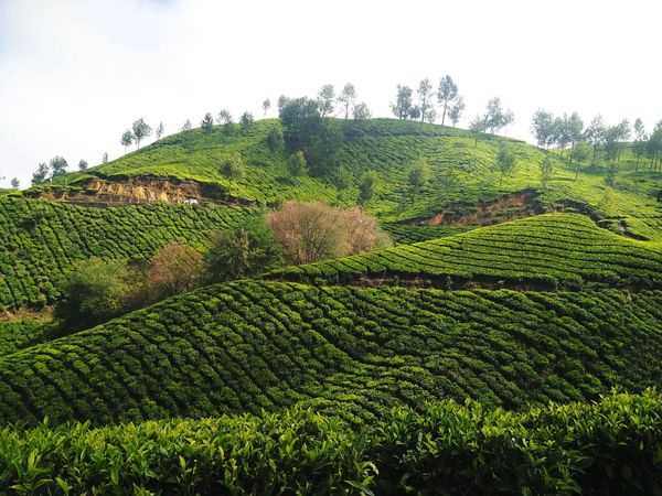 Tea Plantation in Munnar, Kerala, India. Landscape Scenics Nature Agriculture Field Tranquil Scene Beauty In Nature Tea Crop Munnar Tea Estates Nilgiri Munnar Nilgiri Tea Tea Estate Tea Estates Tea Plantation  Tea Plantation Terrace Tea Plantation  Tea Gardens Showcase: December Kerala India God's Own Country Tea Garden Hill Farming Mountains And Valleys Lost In The Landscape