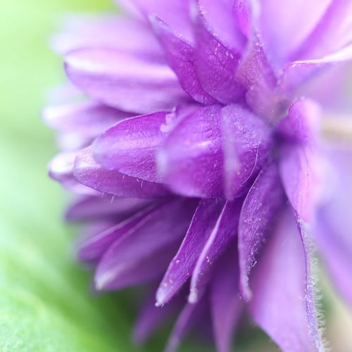 blue barlow Macro Macro Photography No People Nature_collection Nature Photography No Filter, No Edit, Just Photography View EyeEm Best Shots EyeEm Nature Lover EyeEm Selects EyeEm Gallery Eye4photography  Akelei Blue Close-up Flower Head Flower Defocused Beauty Springtime Purple Petal