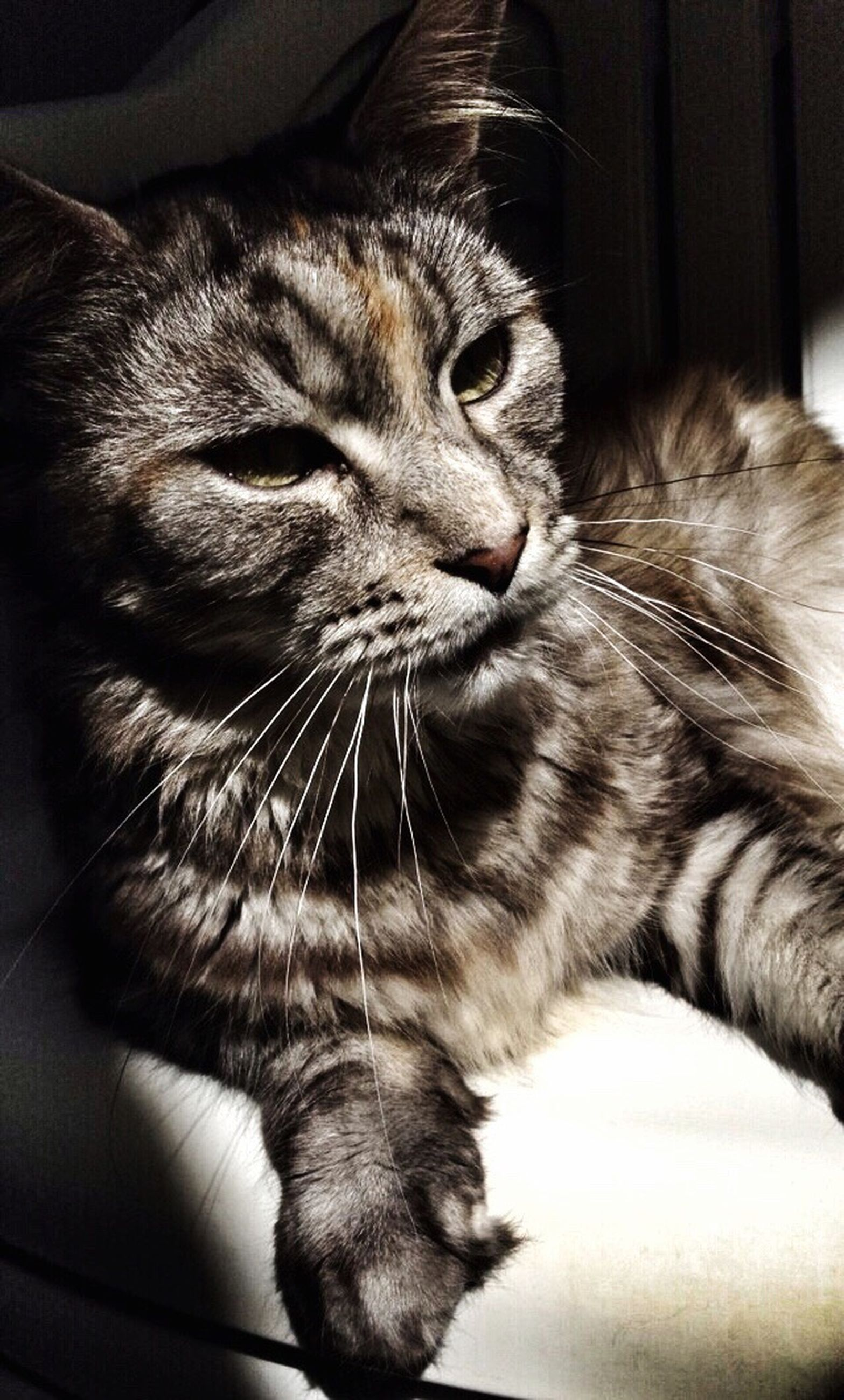 one animal, domestic animals, animal themes, pets, domestic cat, cat, feline, mammal, close-up, whisker, looking away, indoors, relaxation, animal head, zoology, selective focus, at home, curiosity, resting, animal, day, whiskers, no people