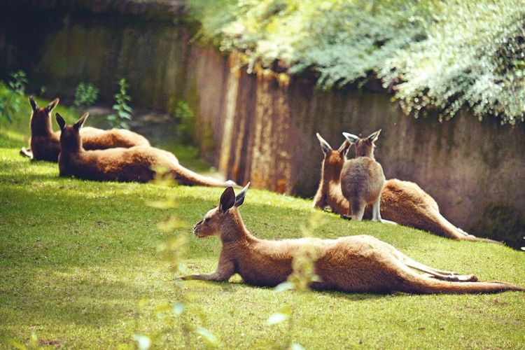 Animal Themes Grass Nature Mammal Animals In The Wild Field Day No People Livestock Outdoors Kangeroo Young Animal Relaxation Togetherness Tree Beauty In Nature