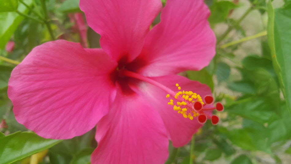 Yellow on red Bunga Raya Pink Color Flower Plant Petal Nature Outdoors Beauty In Nature Flower Head Close-up Hibiscus