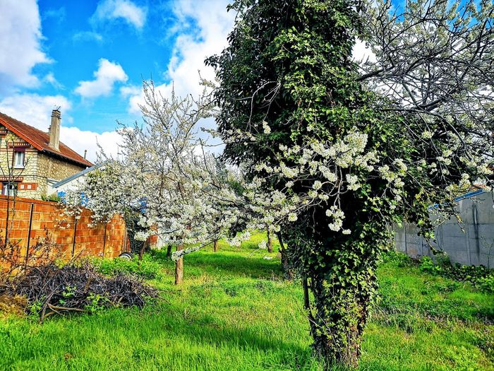 Landscape Abandoned To Be Sold Flowered Tree Blossom In Bloom Springtime Tree Sky Grass Cloud - Sky Architecture