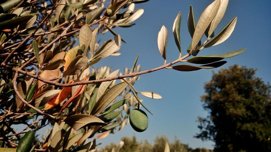 Olive Olives Tree Seeds Fruit Growth Growing Orchard Plantage Croatia Trip Tour Crkvice Eu Europe Contrast Green Silver  Sunlight Shadow