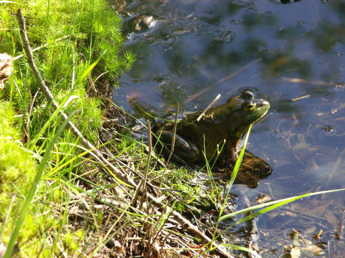We think too small, like the frog at the bottom of the well. He thinks the sky is only as big as the top of the well. If he surfaced, he would have an entirely different view. - Mao Zedong Frog Frog In Pond Greenbriar Half Out New Jersey Oceanview Oceanview Resort Pond Pond In Resort Animal Themes Animal Wildlife Animals In The Wild Close-up Day Frog In Water Grass Half In Half Out Nature No People One Animal Outdoors Plant Reptile Sunshine Water The Great Outdoors - 2018 EyeEm Awards