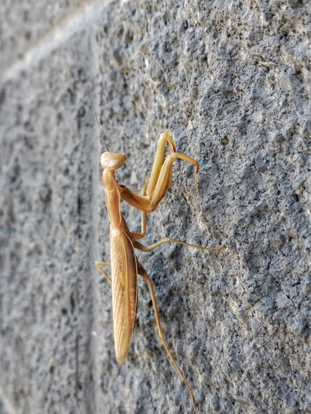 Background Backgrounds Animals In The Wild EyeEm Nature Lover Animal Photography Outdoor Photography Animal_collection Nature Photography Animals Outdoors Taking Photos Insects Collection Insect Photography Bugs Life Bugs Insects  Praying Mantis