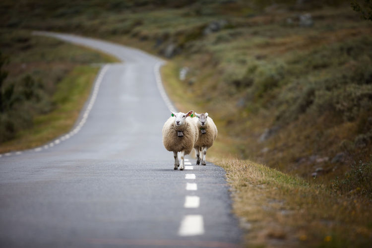 Family Animal Themes Diminishing Perspective Domestic Animals Live Livestock Mammal Mountain Road No People Norway Rjukan Road Running Selective Focus September Sheep Telemark The Way Forward Time Live For The Story
