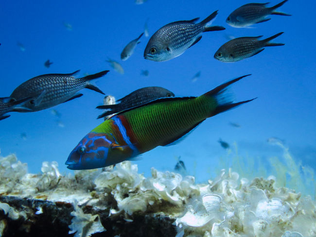 Animal Themes Blue Brightly Coloured Fish Natural Pattern Nature Ornate Wra Sea Sea Life Swimming UnderSea Underwater Water Wildlife