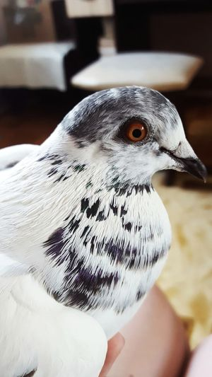 Bird Close-up One Animal Human Body Part Animal Wildlife Animal Themes One Person Day Beak Outdoors People Adult Only Women Nature Adults Only Mammal Peace Peacebird Redeyes Yuki