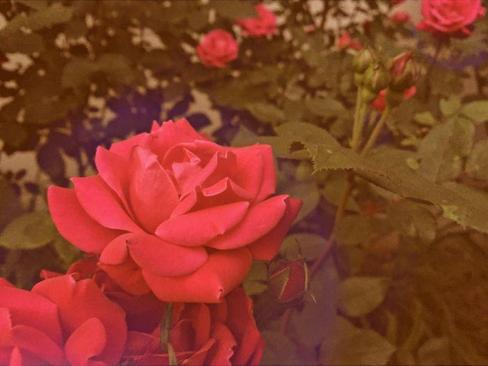 Flower Vintage Floral Foliage Pink Red Petals Garden