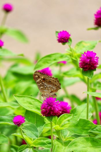 Flower Flower Head Perching Full Length Leaf Butterfly - Insect Pink Color Pollination Multi Colored Insect