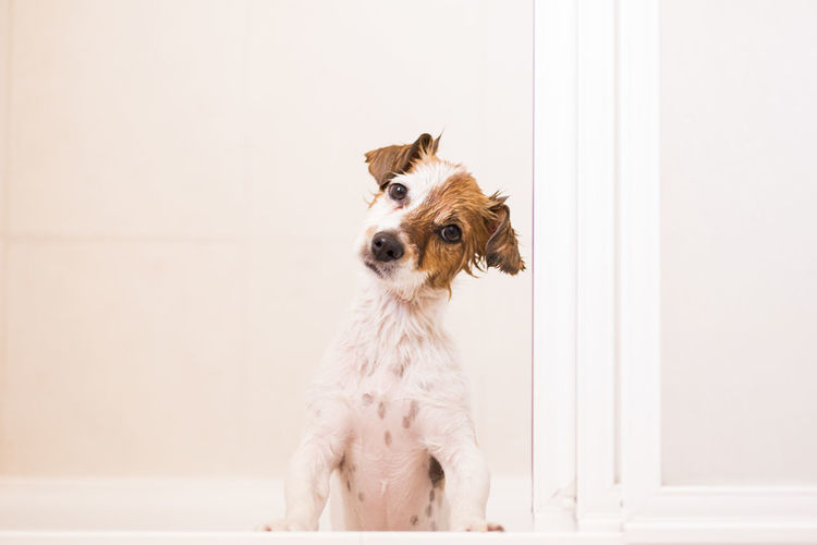 Portrait of dog sitting against wall at home