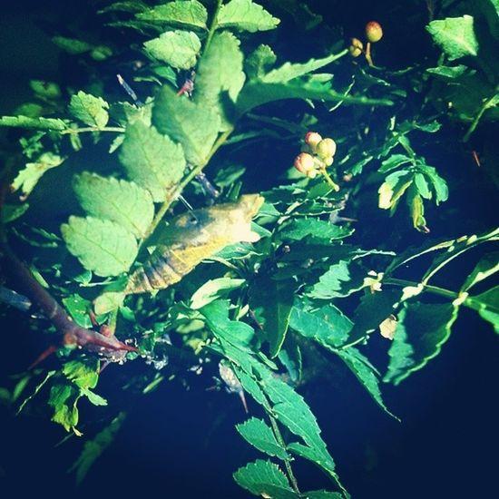 わかるかなー 蛹 アゲハ蝶
