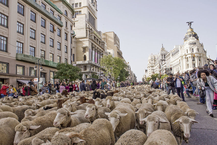 Sheeps in the downtown Architecture City Crowd Group Of People Street Nature Sheeps Mesta Flock Of Sheep Flock Cañada Real  Shepherds Madrid Demostration Downtown Ovejas Rebaño Pastores Ganaderos Ranch Ranchers Manifestación Ciudad Distrito Centro Lana