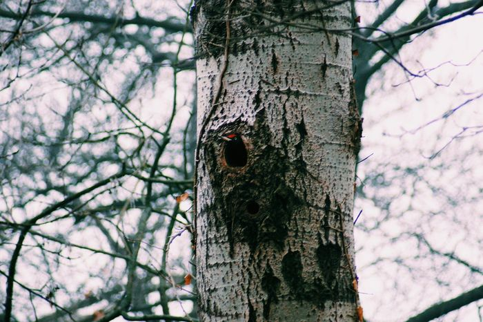 Woodpecker Home Woodpecker In Tree Tree Nature Growth Low Angle View Tree Trunk No People Branch Sky Outdoors Textured  Animal Themes Birdhouse Ivy Close-up Woodpecker Day Wood Pecker Wood Pecker Hole Birds Of EyeEm  Bare Tree Taking Photos Birds Of EyeEm  Bird Photography