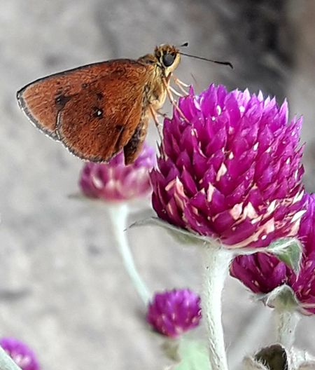 Monton flower