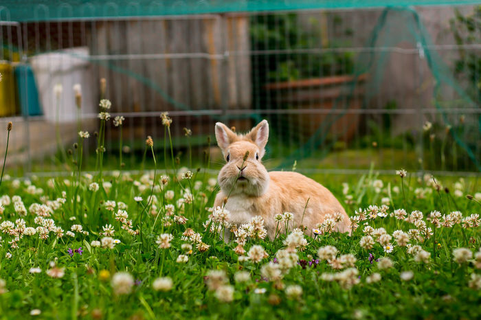 Acariciar Animal Behavior Animal Themes Animales Animals Conejo Domestic Animals Flower Grass Hase Haustier Herbivorous In Bloom Kaninchen Meadow No People One Animal Pets Rabbit Selective Focus Tiere Zoology Zwergkaninchen