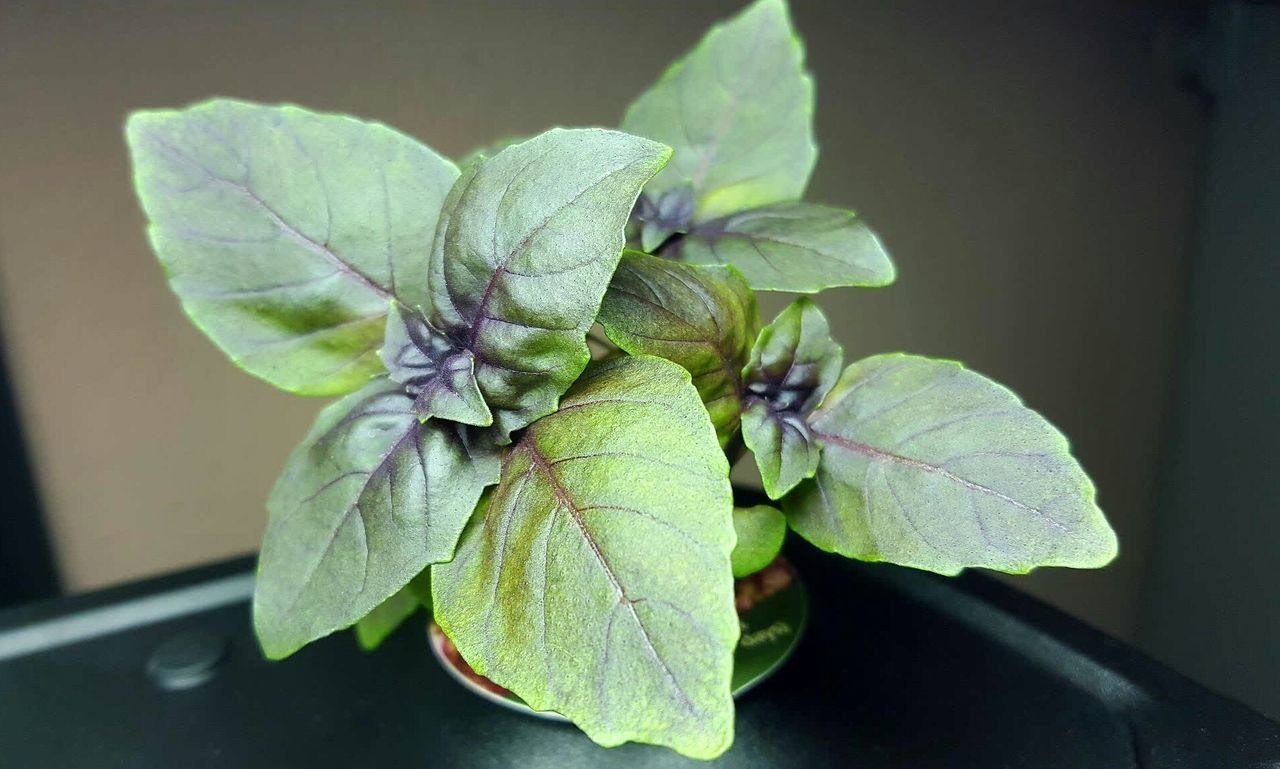 Close-Up Of Basil Leaves On Table