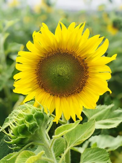 Sunflower Photography Sunflowers🌻 The Bloom Thailand Flower Flowering Plant Flower Head Freshness Beauty In Nature Growth Sunflower Yellow Plant Petal Pollen Close-up Vulnerability  Fragility Green Color Plant Part Leaf