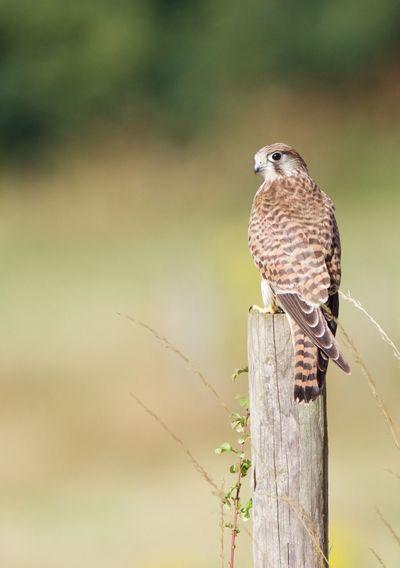 Hawk perching on wooden post
