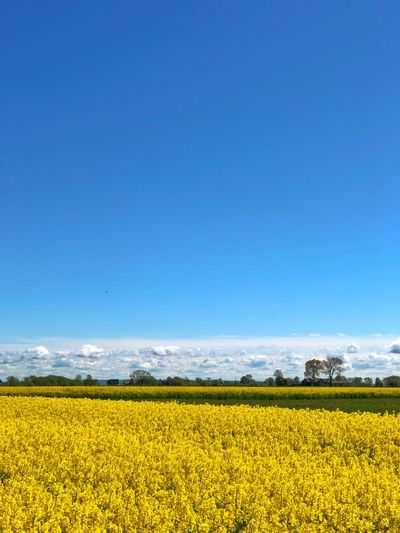 Field Colza Rapeseed Yellow Nature Sky Horizon Blue Beauty In Nature Landscape Agriculture Scenics - Nature Flower Rural Scene Tranquil Scene Plant Land Environment Oilseed Rape Tranquility Flowering Plant Crop  Growth Farm Springtime No People Vibrant Color Outdoors