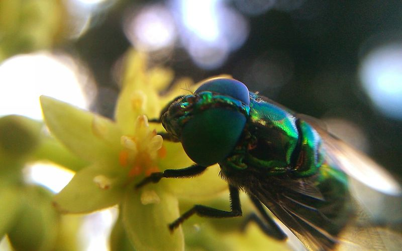 Green fly Fly Green Fly Pollinators Flies Things That Are Green