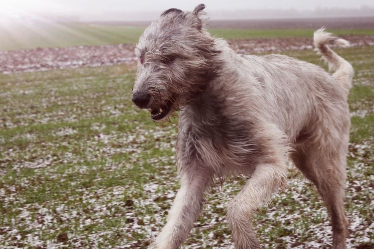 One Animal Animal Themes Domestic Animals Outdoors Animals In The Wild Winter January 2017 Winter 2017 Dog Dog Of The Day Dogs Of EyeEm Dogs Of Winter Petscorner Dogwalk Dogslife Cearnaigh Irish Wolfhound Fieldscape It Is Cold Outside Cold Temperature Take A Walk