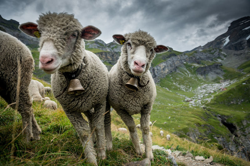 Portrait of sheep standing on land