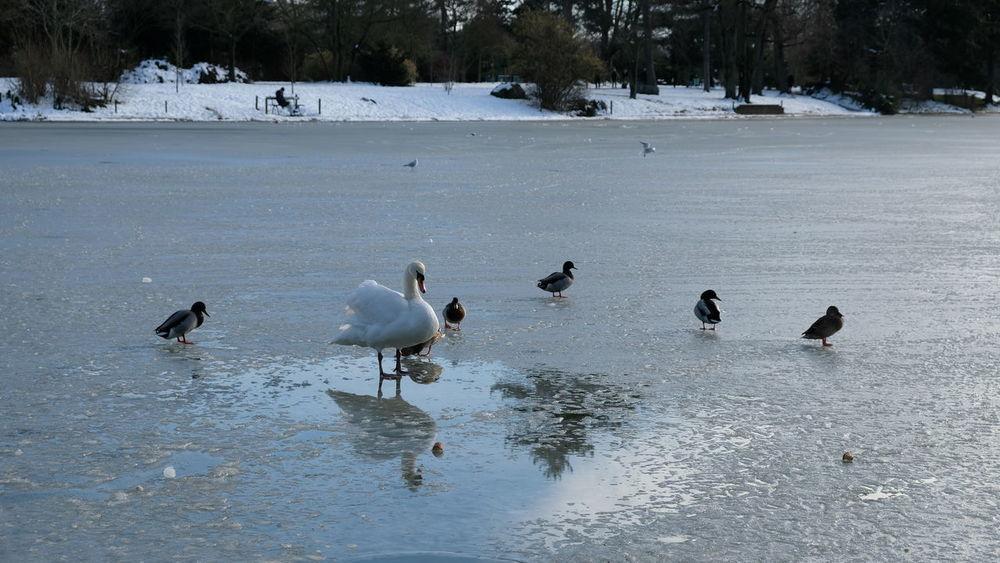 Beauty In Nature Bird Cold Cold Temperature Cygne Lac Lac Jelé Lacdescignes Lake