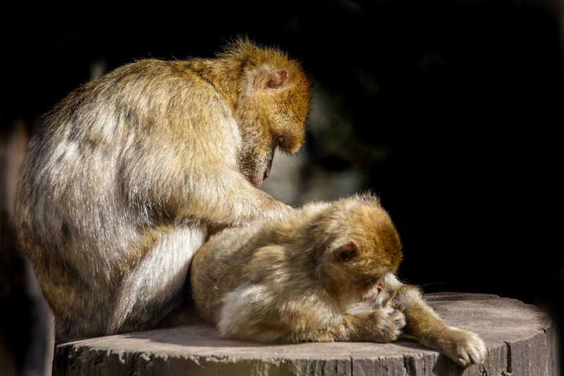 Zoo portraits - motherly love is sometime looking for fleas