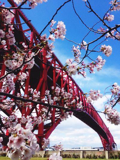 Cherry Blossoms Picnic