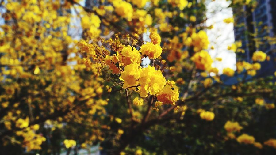 Tabebuia chrysotricha in H.K. Tabebuia Chrysotricha Yellow Nature Beauty In Nature Close-up Yellow Plant Flower