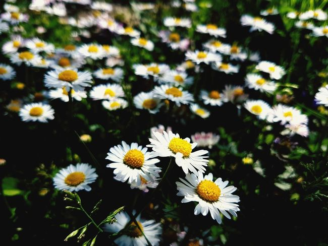 Flower Head Flower Petal Pollen Daisy Close-up Plant Cosmos Flower In Bloom Wildflower Blossom Blooming Plant Life Flowering Plant EyeEmNewHere