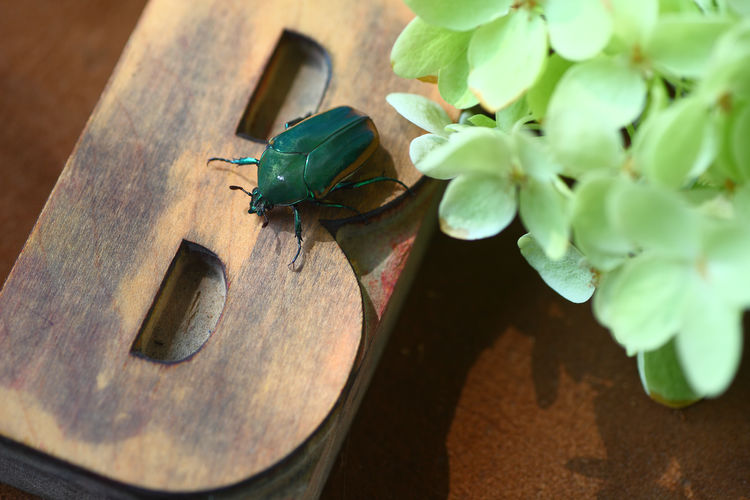 Beetle on wood letter B with flowers Animal Close-up Green Color Insect No People Wood - Material Nature High Angle View Beetle Shield Bug Flower Letter B Wood Type Font Typeface  Overhead View Natural Light Studio Shot Indoors  Wood Material Closeup Textures Copy Space Room For Text