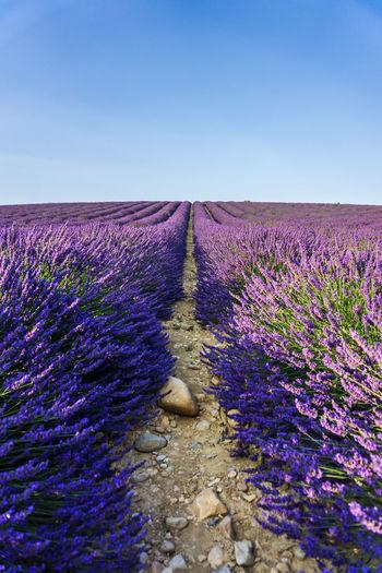 Purple flowers on field against clear sky