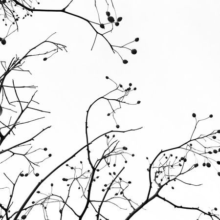 Sky Clear Sky No People Branch Tree Outdoors Low Angle View Beauty In Nature Nature Day Black And White Berries Graphic