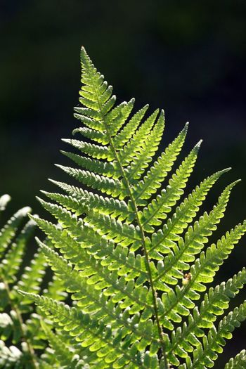 Bracken Green Green Color Delicate Beauty Natural Pattern Beauty Beauty In Nature Nature On Your Doorstep Close-up Vibrant Colors