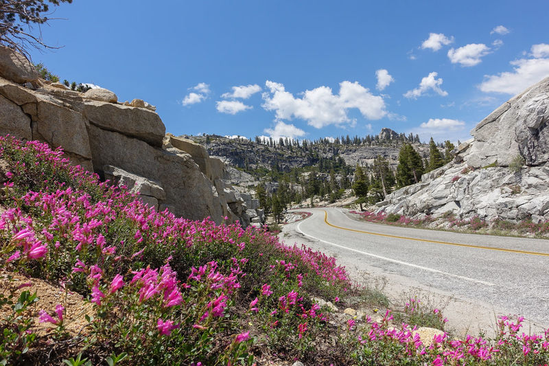 Pink wildflower blooming along the road near Olmsted Point in Yosemite Alpine Alpine Flower Beauty In Nature Blue Skies California Dreaming Granite Granite Mountain High Sierra Landscape Mountain Pass Mountain Road National Parks No People Olmsted Point Open Road Penstemon Perfect Day Pink Flowers Scenics Sierra Nevada Spring Blooms Wildflower Photography Wildflowers In Bloom Yosemite Yosemite Valley