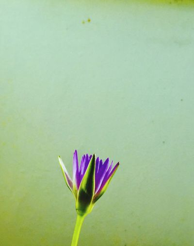 water lily Flower Lotus Blooming Fragility Beauty In Nature No People IPhoneography Thailand Water Lily Purple Green Color Minimalism