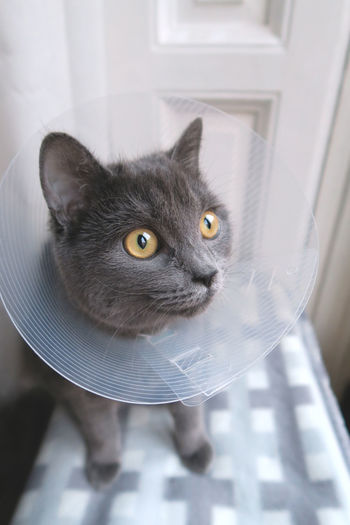Gray Cat Wearing Protective Collar