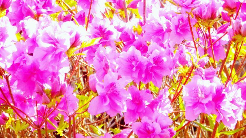 つつじ満開 (*´ω`*) つつじ Pink Color Flower