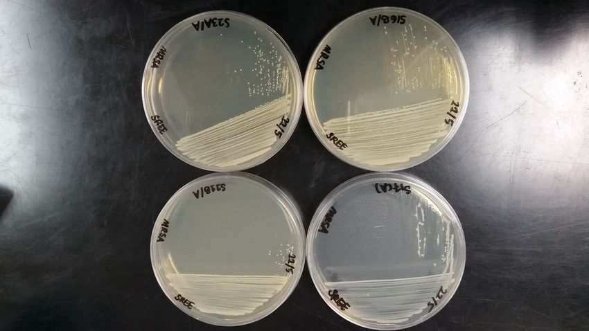 Bacterialcolony Staphylococci Biotechnology Mrse Dilutionstreaking Circle Close-up