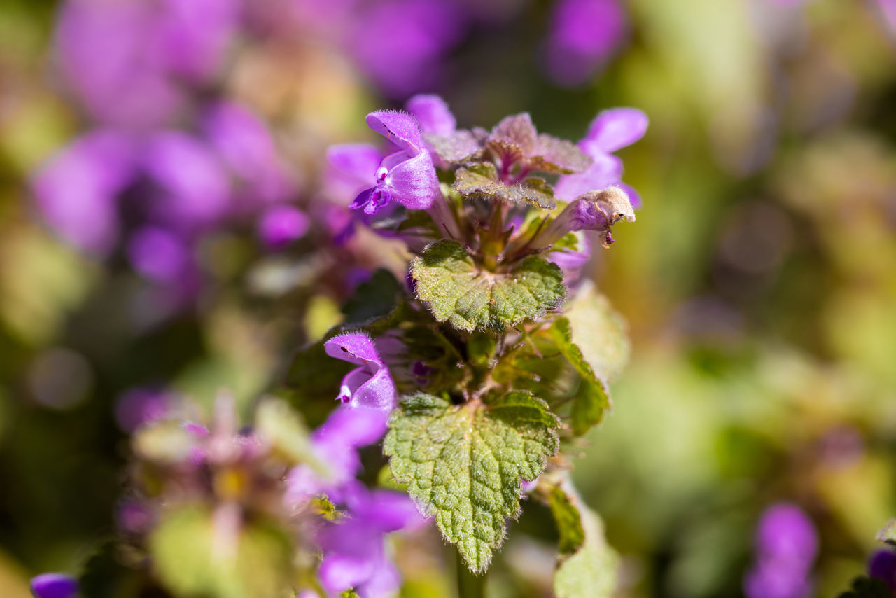 CLOSE-UP OF PURPLE FLOWERS ON PLANT