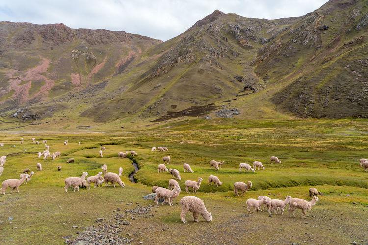 Flock of sheep grazing on landscape against sky
