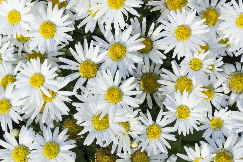Close-up of blooming Marguerite Daisies in Sunlight Asteraceae Beauty Blooming Close-up Daisies Daisy Flowering Flowers Garden Grow Growing Happy Marguerite Marguerite Daisies Petals Sunlight White Yellow