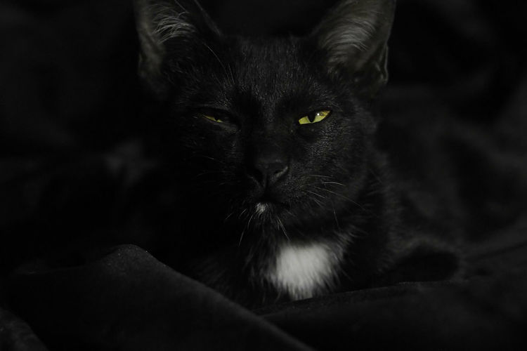 CAT Cat Mammal Domestic Animals Pets Domestic One Animal Domestic Cat Feline Portrait Looking At Camera Indoors  Close-up People Black Color Vertebrate Animal Body Part Whisker Black Background Animal Eye