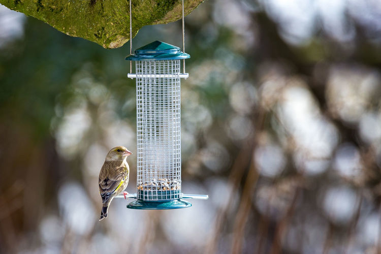 Grünfink (Chloris chloris) Birds Of EyeEm  Birds🐦⛅ European Greenfinch Grünfink Vogel Animal Themes Animal Wildlife Animals In The Wild Bird Bird Feeder Birds Birds_collection Chloris Chloris Day Focus On Foreground Nature No People One Animal Outdoors Vogelfotografie