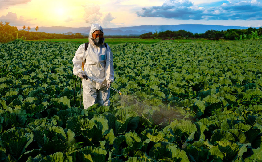 Gardener in a protective suit spray fertilizer with pesticides on huge cabbage vegetable plant