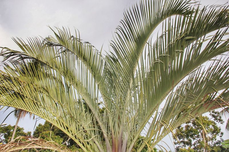 Growth Day Palm